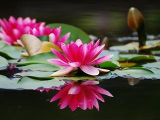 В октябре можно будет увидеть цветение редкой кувшинки